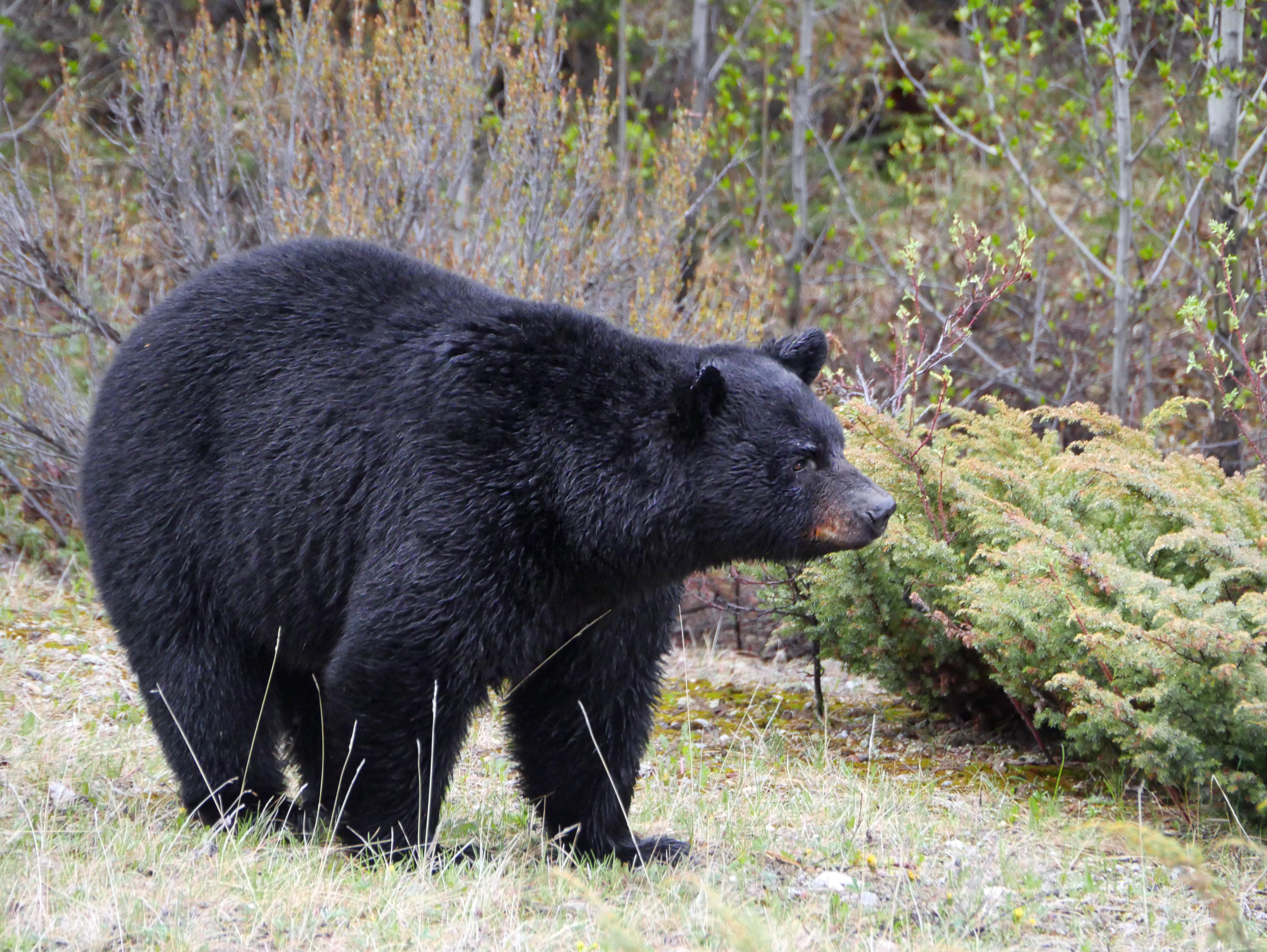 13 BearJasper